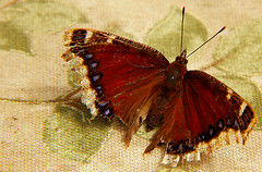 Mourning Cloak Butterfly (LostMyHeadache: Absolutely Free *) Tags: color nature canon butterfly bug insect outside wings stripes patterns moth 1001nights antennae davidsmith mourningcloak calgaryalbertacanada eos60d 1001nightsmagccity
