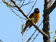 oriole looking down (natureburbs) Tags: bird nature birding baltimoreoriole oriole newjerseywildlife birdsinnewjersey