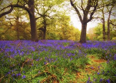 Bluebell Recce Pt. 2 [Explored...] (Vemsteroo) Tags: flowers wild england nature beautiful bluebells fairytale forest canon woodland carpet spring ancient woods fresh bloom iconic epic f28 tranquil warwickshire enchanted 6d coppice recce lseries ryton springwatch 1635mm beautyinnature rytonpoolscountrypark