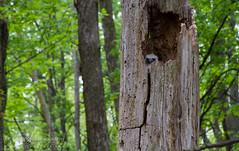 Great Owlet (J.P. Lawrence Photography) Tags: ohio usa bird birds animals unitedstates unitedstatesofamerica places aves ave northamerica ornithology owls avian greathornedowl vertebrate bubo strigiformes vertebrates bubovirginianus strigidae vertebrata mageemarsh mageemarshstatepark