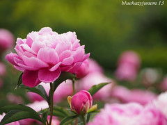 Peony #1 (bluehazyjunem) Tags: flower may center peony mid handhold oofuna 2013 mzuikodigitaled40150f4056