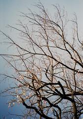 中河原 木 Fuchu-si, Tokyo (ymtrx79g ( Activity stop)) Tags: sky plant color film japan analog tokyo 35mmfilm fujifilm 東京 konica 135 空 植物 府中市 写真 銀塩 nakagawara フィルム 中河原 fujicolor記録用100 fuchusi konica現場監督28hg 201304blog