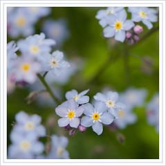 Forget-me-not. (Yvette-) Tags: flowers nikkorf28105mm nikond5100