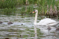 Swan Piggyback Ride (fredhosley) Tags: baby birds canon swan massachusetts broadmoor audubon natick massaudubon