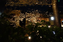 DSC08633 (Richard, enjoy my life!) Tags: flower japan river kyoto sony   sakura   dscrx100