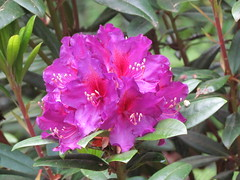 Tall Timber (dnoc) Tags: rhododendrons