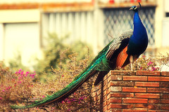 King of tails (Oana Mangiurea) Tags: bird zoo peacock lisbonzoo canon70300isusm canon550d