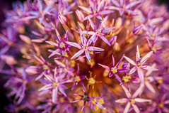 ornamental onion (Sam Scholes) Tags: flowers plant flower nature digital garden utah nikon colorful purple bright violet d300 westjordan ornamentalonion conservationgardenpark jordanvalleyconservationgardenpark