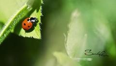 LadyBug (Sulafa) Tags: nature insect beetle ladybug