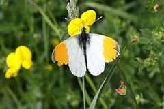 Orange Tip butterfly (Jelltex) Tags: butterfly kent orangetipbutterfly jelltex jelltecks