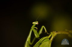 Mantis (ARTic Photo) Tags: macro bug mantis insecto