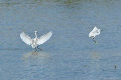 a_DSC_8714 (OrNeSsInA) Tags: aironi byrd uccelli natura airon cormorani folaghe trasimeno lago umbria lucarosi toscana passignano montedellago perugia insetti farfalle nikon tamron