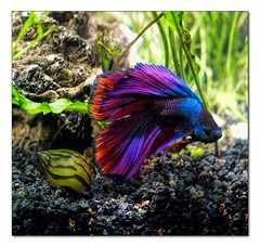 betta-5 (hodad66) Tags: fish aquarium snail betta snodgrass