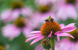 Bumble bee and bokeh