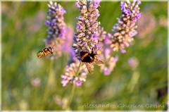 Bees_at_work (Ghurum) Tags: nature bees natura bee ape api insetti lavanda autofocus mygearandme