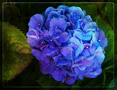 Indescribably Blue (MissyPenny) Tags: blue flower garden bush hydrangeas hydrangeamacrophylla bristolpennsylvania