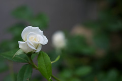 13072013_white rose 2 (Chicaco11) Tags: park white flower rose japan 35mm lumix tokyo panasonic nikkor meguro f28 目黒 碑文谷公園 dmcg2 chicaco11