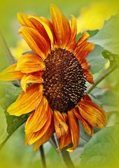 Sunflower (Stella Blu) Tags: orange flower sunflower albertacanada gamewinner stellablu nikkor105mmf28gvrmicro 15challengeswinner nikond5000 gamex2winner herowinner pregamewinner favescontestsweep favescontestfavored