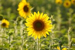 Stand Alone (Kathy~) Tags: flower sunflower yellow dof dominofarms annarbor michigan favescontestwinner herowinner instagram
