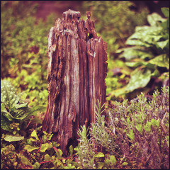 wooden stump (electrigger) Tags: wood 3 dead wooden madera timber stump holz madeira stub bois viur lemn drevo  timbur