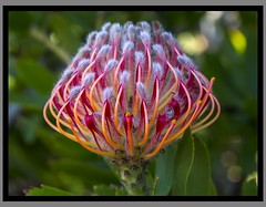 Toowoomba Flowers_021=