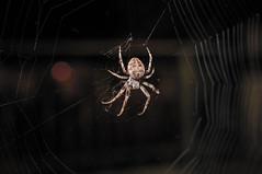 Sammeljger (fiedler.andre) Tags: macro deutschland nacht sachsen zwickau spinne insekt dunkel netz kreuzspinne unschrfe 2013 paradiesbrcke muldeparadies