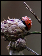 damp day (*Lucy*1) Tags: red water insect ladybird