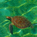 "Green Sea Turtle • <a style=""font-size:0.8em;"" href=""http://www.flickr.com/photos/62727841@N00/9951811526/"" target=""_blank"">View on Flickr</a>"