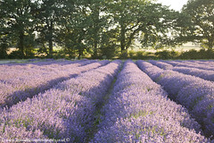 Lavender fields (Ian Middleton: Photography) Tags: park county uk trees light england plant english nature beautiful beauty field evening countryside soft purple natural britain farm lavender hampshire row british growing hartley
