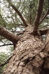 Arbol (Juana Prez) Tags: tree branch rbol maze pino rama laberinto
