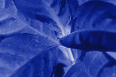 _DSC0001 (SouLounge_Mid) Tags: blue leaves leaf nikon indigo d3100