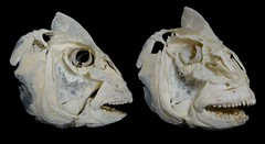 Crâne de Dorade Royale / Gilt-head Bream Skull (Sparus aurata) (JC-Osteo) Tags: fish skeleton skull bones bone bream poisson daurade crâne dorade squelette osteology sparusaurata sparus perciformes sparidae ostéologie