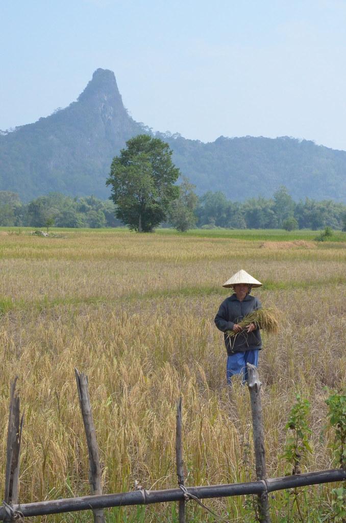 DSC_0678_récolte du riz
