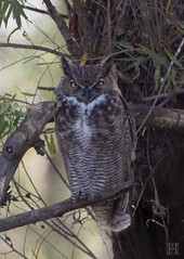 Great-Horned-Owl-4610 (SharonConstant) Tags: tree owl greathornedowl birdphotography sharonhowardconstant