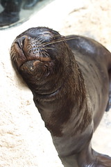 Fur Seal (Colin Hodges) Tags: