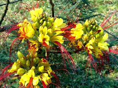 A beautiful small shrub Caesalpinia gilliesii it is a fast growing shrub or small tree native to Argentina (pat.bluey) Tags: flowers red yellow australia newsouthwales 1001nights caesalpinia warilla gilliesii flickraward hennysgardens