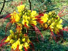 A beautiful small shrub Caesalpinia gilliesii it is a fast growing shrub or small tree native to Argentina (pat.bluey) Tags: flowers red yellow australia newsouthwales 1001nights caesalpinia warilla gilliesii flickraward hennysgardens