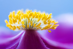 Eruption (Mandy Disher) Tags: pink blue flower macro floral yellow closeup flora purple