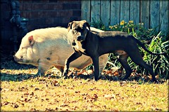 BFFs (stilesathelake) Tags: dog pig