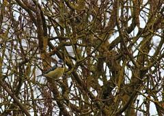 Msange bleue - Cyanistes caeruleus (StephanExposE) Tags: france bird canon lila 300mm oiseaux bleue caeruleus msange cyanistescaeruleus cyanistes 600d msangebleue marestsurmatz stephanexpose