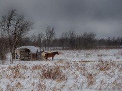 Campagne Gelée / Frozen Countryside (!Michel Grenier!) Tags: horses cold clouds grey gris countryside quebec hiver québec boucherville nuages campagne froid chevaux hiverquébécois olympusm45mmf18 olympusem1