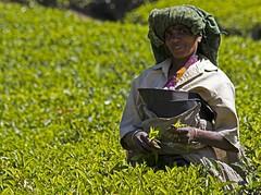 Tea picker (bag_lady) Tags: portrait india kerala worker munnar teaplantations teapicker