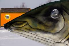 Wally, the Walleye (Chizuka2010) Tags: winter hiver ottawa wally ottawariver icefishing pcheblanche petrieisland riviredesoutaouais icefishinghuts wallythewalleye canoneos60d chizuka2010 luciegagnon icefishinginwinter pcheenhiver pcheblancheenhiver icefishingvillage lepetrie pchersurlaglace motorizedfloat