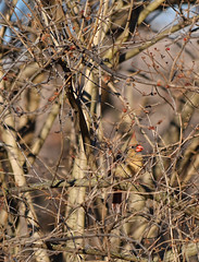 Can You Spot Her? (Chad Horwedel) Tags: tree bird illinois cardinal femalecardinal bolingbrook dupagerivergreenway