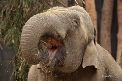 Aziatische olifant (K.Verhulst) Tags: elephants nl amersfoort olifant olifanten dierenparkamersfoort aziatischeolifant asiaticelephants