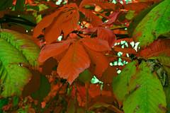 Bltter im Herbst / Autumn Tree (akumaohz) Tags: brown plant tree green herbst pflanze grn braun blatt bltter ohz osterholzscharmbeck