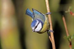 blue tit (ruth spotlight) Tags: blue bird scotland tit fife bluetit ruthsamson