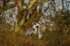 Grey Heron pair courting (Benjamin Joseph Andrew) Tags: