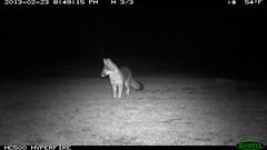 IMG_0204 Calif Gray Fox; 2/23/14 @8:49pm (BobcatWeather) Tags: california mammal santacruzmountains carnivore sanmateocounty cameratrap motionsensorcamera urocyoncinereoargenteus bobcatweather georgiastigall fwnp calfiorniagrayfox