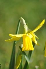 Pavilion_Gardens_0052 (Peter-Williams) Tags: uk flowers garden sussex countryside brighton crocus daffodil parkland carmelia paviliongardens